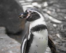 Free Humboldt Penguin Stock Image - 22266611