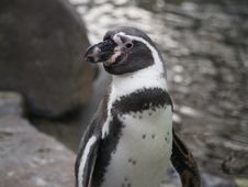 Free Humboldt Penguin Royalty Free Stock Images - 22266629
