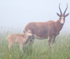 Blesbok And Young In Mist Royalty Free Stock Images