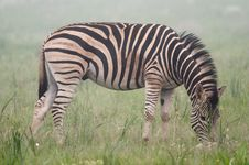 Free Zebra In The Mist Stock Images - 22266714