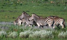 Free Herd Of Zebra Royalty Free Stock Photo - 22266765
