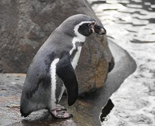 Free Humboldt Penguin Royalty Free Stock Image - 22266846