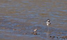 Free A Proud Avocet And A Busy Dunlin Royalty Free Stock Photos - 22267328