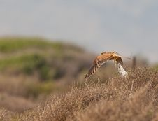 Free A Kestrel In Low Flight Royalty Free Stock Image - 22267366