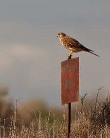 Free A Female Kestrel On A Post Royalty Free Stock Photo - 22267395