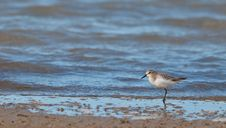 A Lonely Sanderling At A Spanish Beach Stock Photography