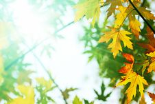 Free Colorful Leaves And Bright Sunlight Royalty Free Stock Photography - 22271967