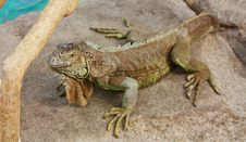 Free Iguana On A Gray Stone Royalty Free Stock Images - 22276409