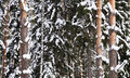 Free Snow-covered Birch And Pine Stock Photo - 22280090