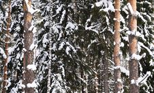 Snow-covered Birch And Pine Stock Photo