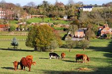 Free Grazing Cattle In An English Meadow Royalty Free Stock Photo - 22282775
