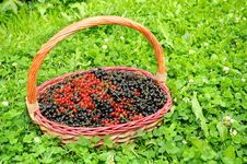 Basket Full Of Berries (Black And Red Currants) Stock Photography