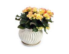Free Begonia In Flowerpot Royalty Free Stock Photo - 22298235