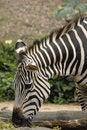 Free Zebra S Head Stock Images - 2230964