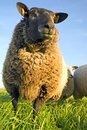 Free Sheep On Grass With Blue Sky Royalty Free Stock Photography - 2238467