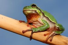Free Little Tree Frog Stock Photos - 2230393