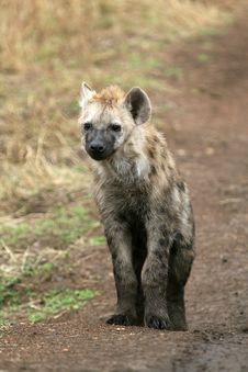 Free Spotted Hyena Royalty Free Stock Photo - 2230935