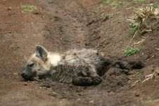 Free Spotted Hyena Royalty Free Stock Photography - 2230947