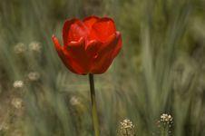 Red Asphodel Royalty Free Stock Image