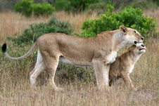 Free Lioness And Cub Royalty Free Stock Photo - 2231135