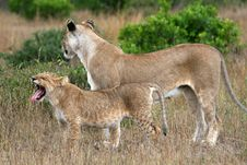 Free Lioness And Cub Royalty Free Stock Photography - 2231207