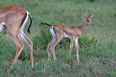 Free Gazelle Fawn Stock Images - 2231474