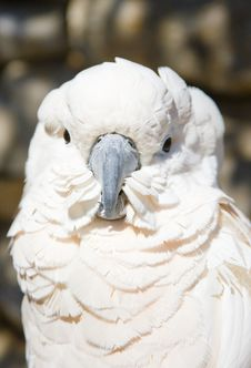 Free White Parrot Royalty Free Stock Photos - 2231758