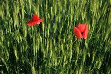 Free Poppy Flowers Royalty Free Stock Photo - 2232185