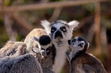 Free Cute Baby Ring-tailed Lemurs Royalty Free Stock Photo - 2232345