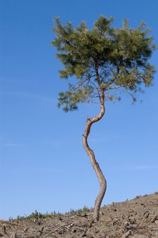 Free Lonely Pine Tree Stock Photo - 2232460