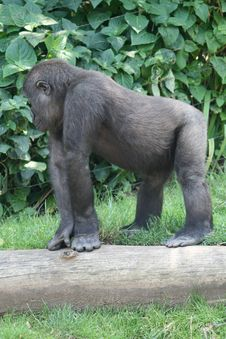 Young Gorilla Royalty Free Stock Images