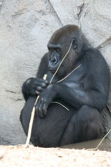 Fat Black Gorilla Stock Photos