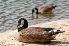 Free Geese At Lake Royalty Free Stock Photo - 2233975