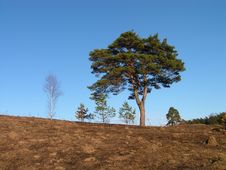 Free Lonely Pine. Royalty Free Stock Photography - 2236607
