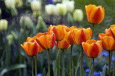 Garden Asphodels Stock Images