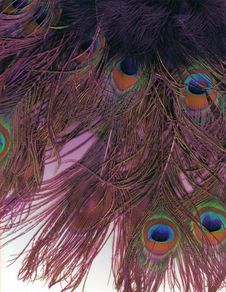 Free Peacock Feathers Royalty Free Stock Photography - 2238067