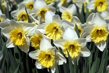 Free Closeup Of White Daffodils Royalty Free Stock Images - 2238219