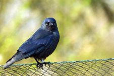 Free Blackbird Resting On Fence Royalty Free Stock Image - 2238416
