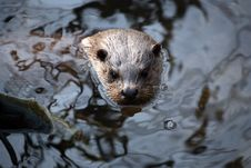 Free Otter Stock Photo - 2239930