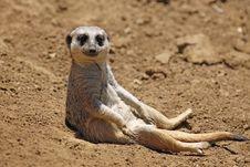 Free Meerkat Sit Royalty Free Stock Image - 22300896