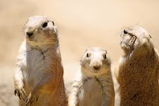 Free Prairie Dog Trio Stock Images - 22300904