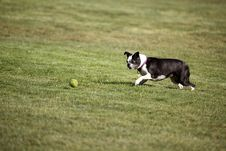 Free Terrier Ball Approach Stock Images - 22300964