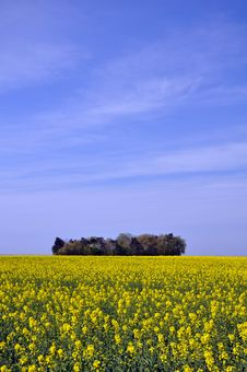 Free Mustard Fields Royalty Free Stock Photography - 22301227