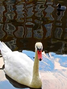 Free Swan And Reflection Stock Photo - 22302770
