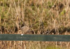 A Female Black Redstart In Winter Royalty Free Stock Photography