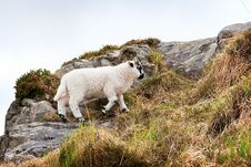 Free Sheep On A Hill Royalty Free Stock Photography - 22305597