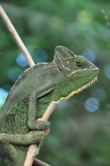 The Posing Chameleon Stock Photo