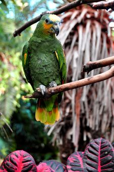 Free Orange Tipped African Parrot Stock Images - 22305924