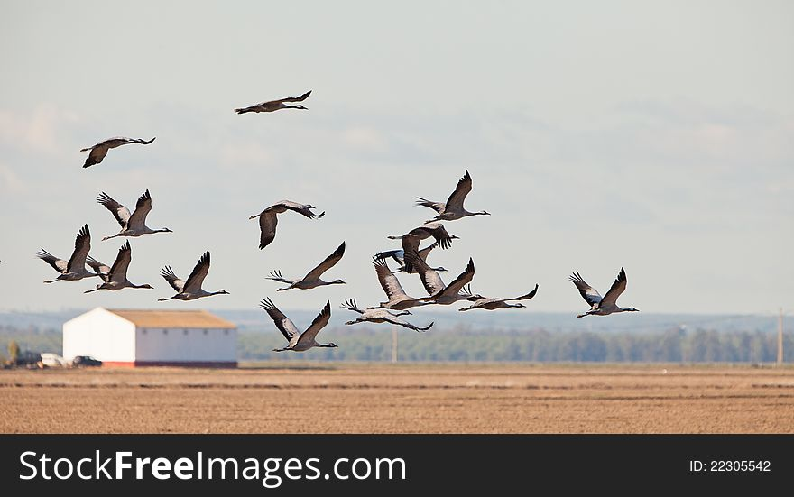 A flock of Common Cranes over the dry rice fields