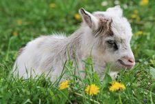 Free Goatling Stock Image - 22317651